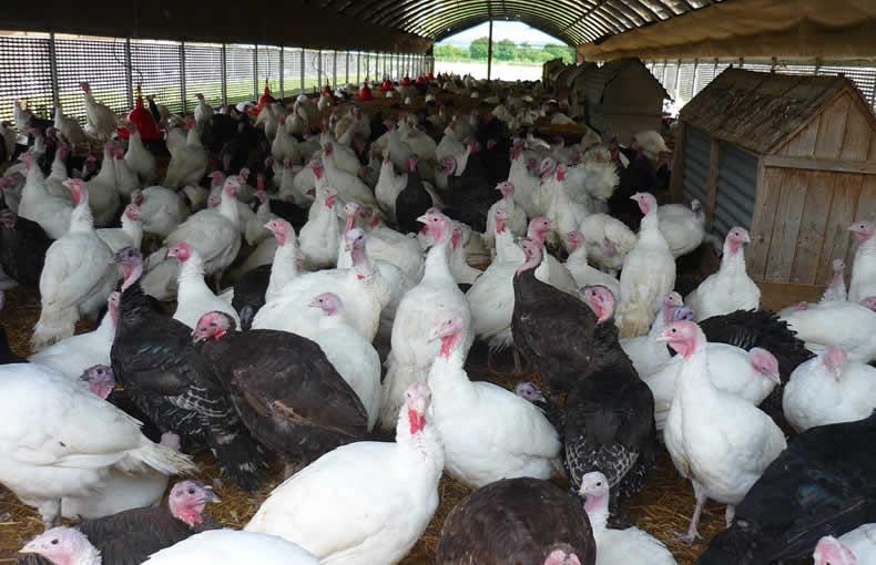 John Howe Free Range Turkeys September Visit