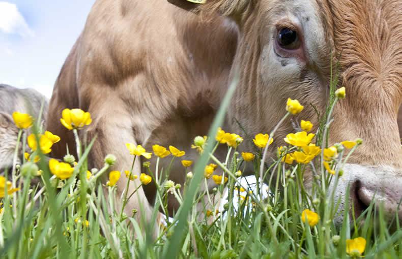 The Cows Of Castle Farm